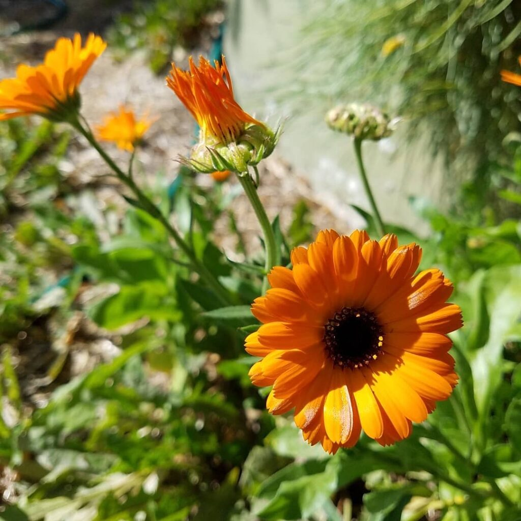 Happy Bright Orange Calendula