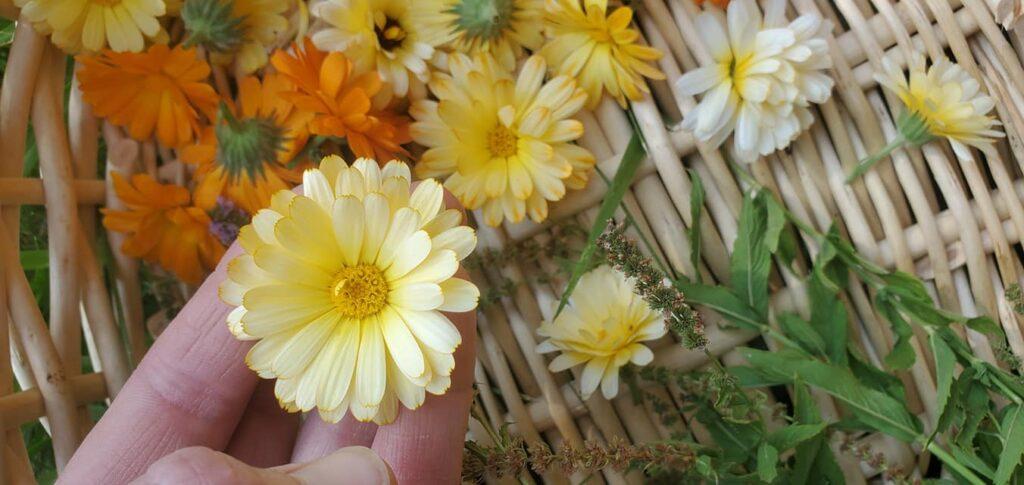 Yarden Harvest Calendula