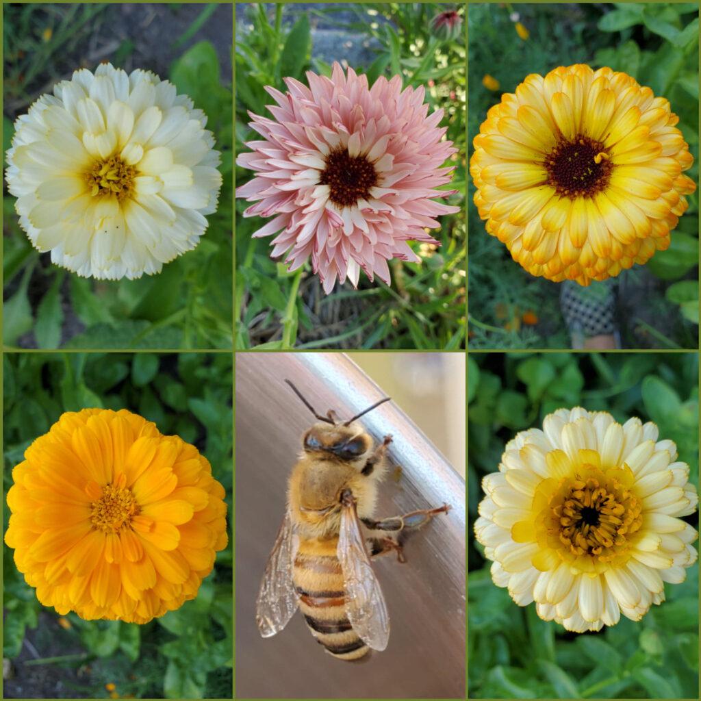 Calendula Rainbow and Honeybee Coming Up Rainbows