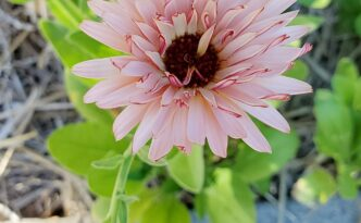 Pink Calendula Coming Up Rainbows