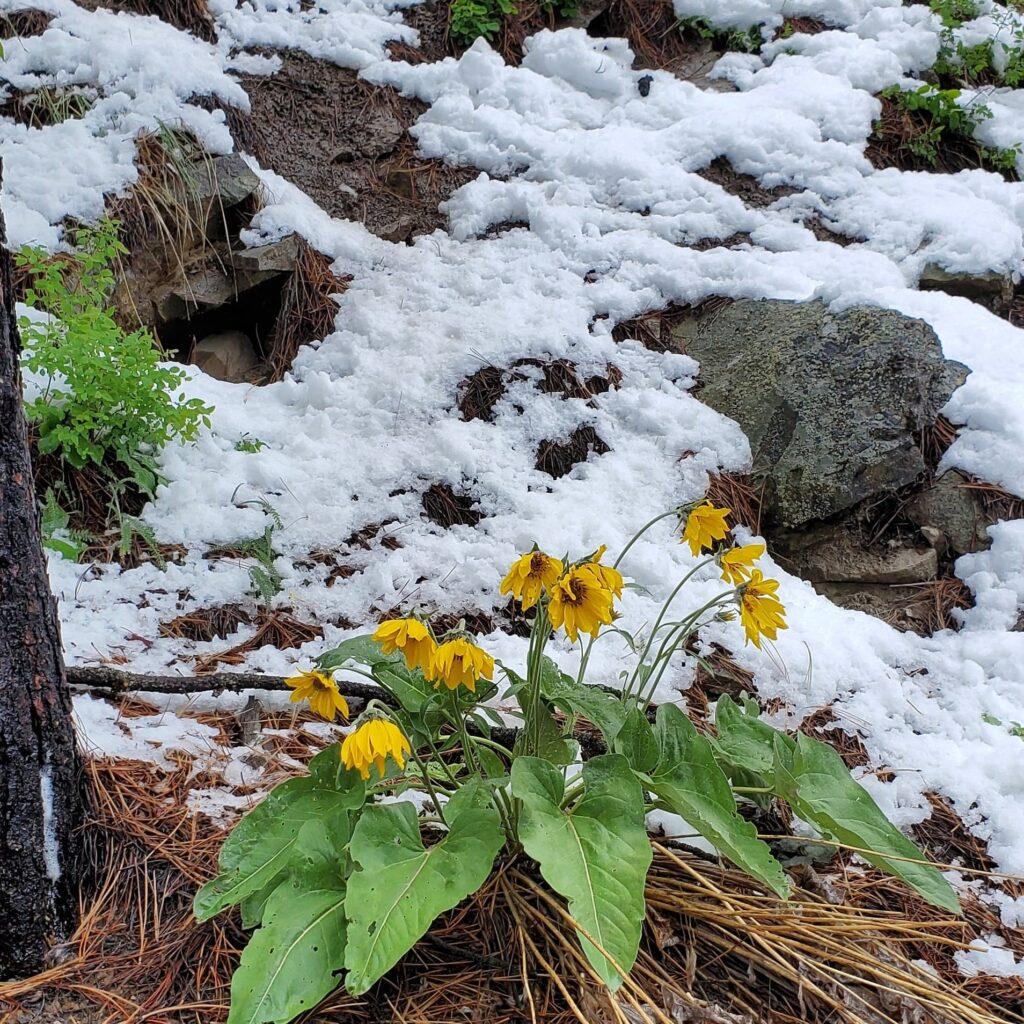 Arrowleaf Balsamroot in Montana Snow