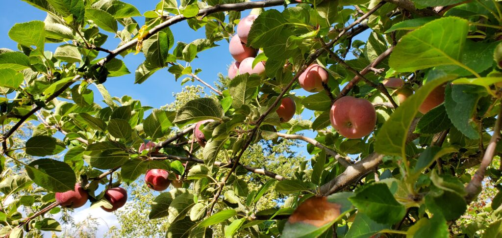 Apple Tree Branch Coming Up Rainbows